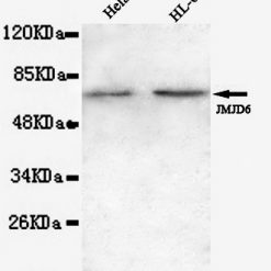 Anti-JMJD6(N-term) Mouse mAb(3G5-G5-H8)